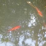 池の底の藻を食べているようです 近づくとびっくりして遠くに逃げています