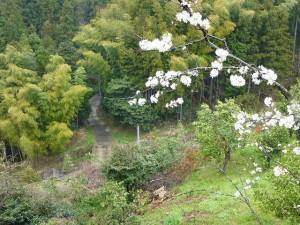 竹林の間の道を行くとそば畑です