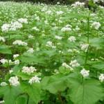 白い蕎麦の花