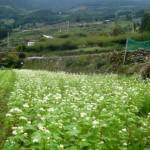 一面の白い花